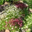 Альийские растения